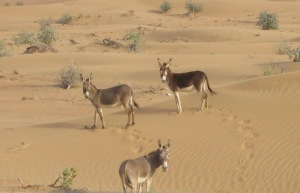 Little donkeys in the desert