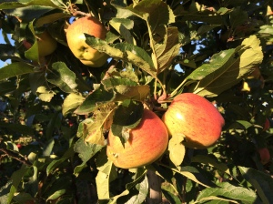 Lovely Kentish apples